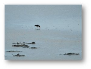 Photo - Avocette