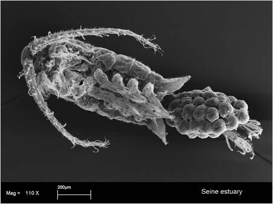 Photo - Eurytemora affinis (Souissi & Courcot - LOG, Wimereux)