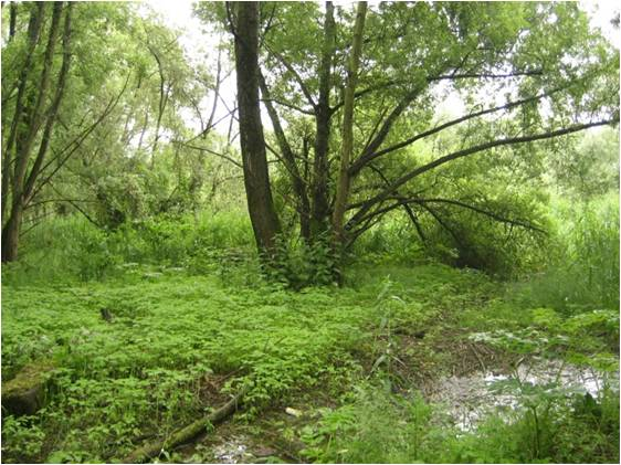 Photo - Bois alluvial (S Moussard, GIP Seine-Aval)